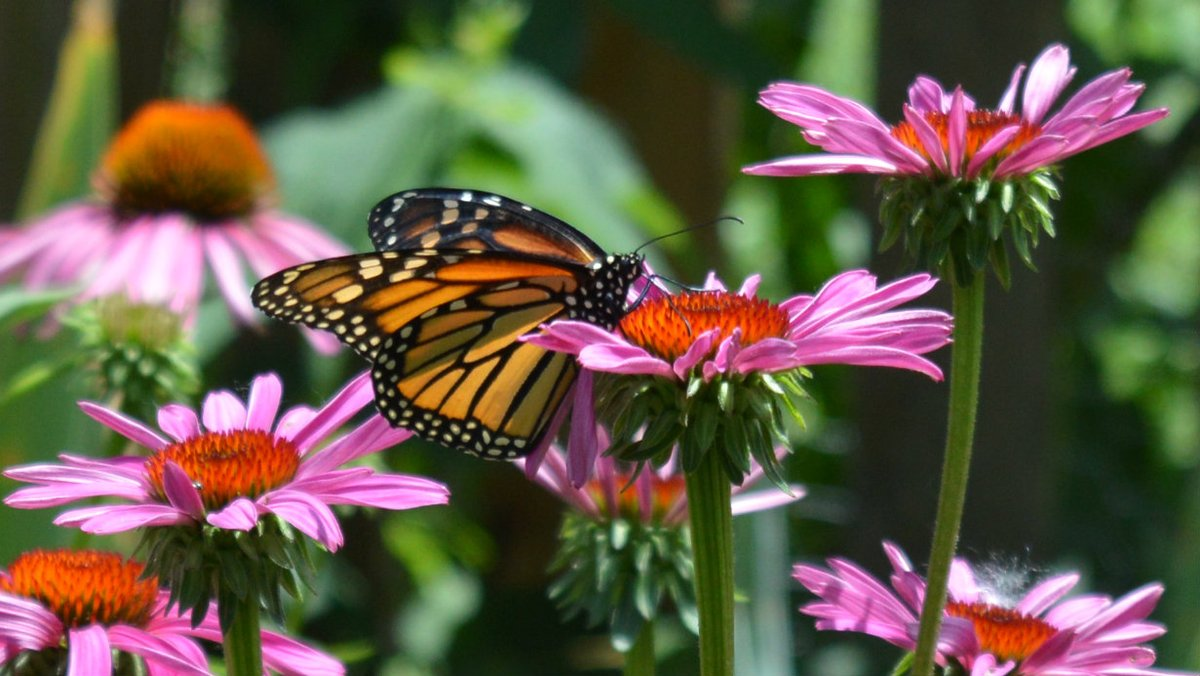 Coneflowers give back to nature! They bring in butterflies & bees in summer, feed birds all winter and look amazing. (They're also one of the easiest flowers to grow.)   #garden #NaturePhotography #tuesdayvibe