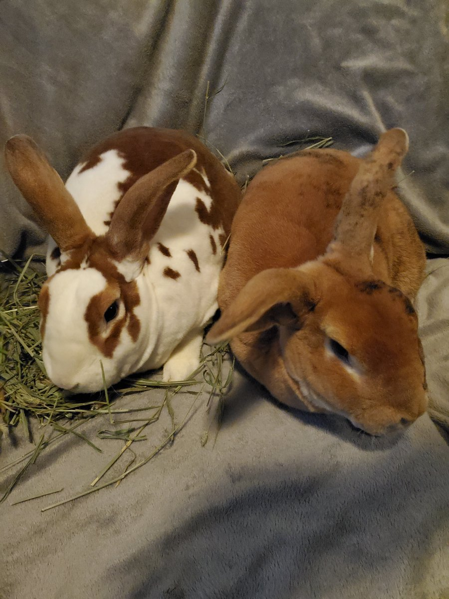Ace & Diesel are adult #rabbits from #Puyallup, WA. petfinder.com/petdetail/4972…