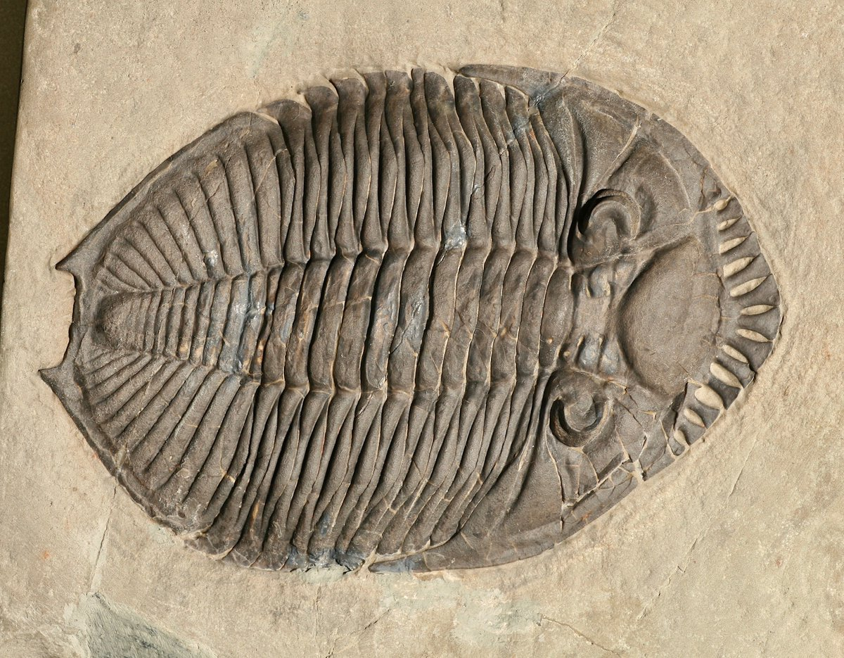Welcome to #TrilobiteTuesday! Behold, the 3.9-in (10 cm)-long Devonian species Odontocephalus ageria. Scientists think that its frilled cowcatcher-like head gear was used to stir up, and then filter, ocean-floor sediment to aid in its search for food. https://t.co/bWp383FtaS