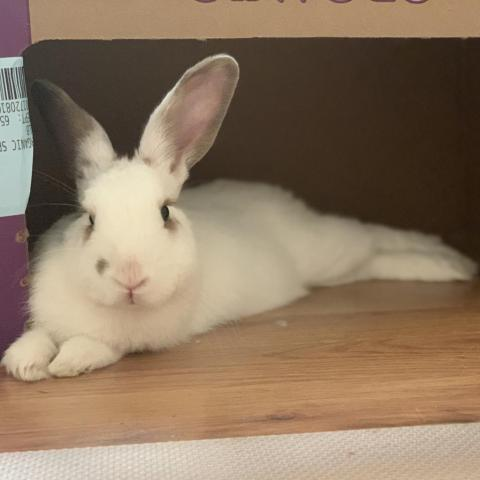Hazel is a gentle, adult bunny rabbit from #Richmond, CA. petfinder.com/petdetail/5008…