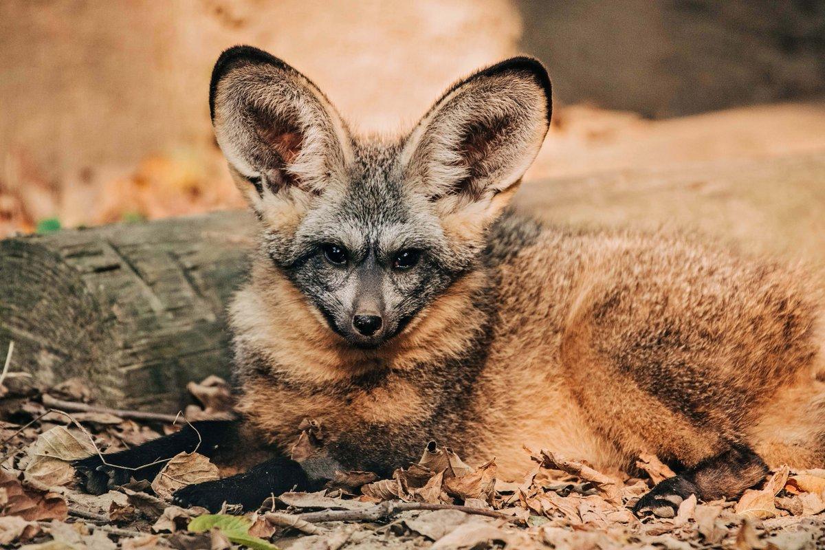 My ears were burning... Were you talking about how cute I am?!  #MemphisZoo #Zoo #Memphis #BatEaredFox #CatCountry #Cats #Fox #Bat #Ears #Animals #Friends #Memphis #ComeVisit