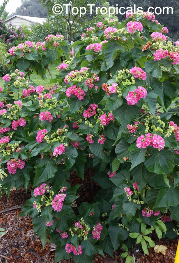 #Dombeya seminole - is sometimes called the Tropical Hydrangea because its flowers are similar to the hydrangeas. The flowers are pink to rose color and bloom from fall to spring. One of the showiest landscape plants!    #floweringshrubs #TuesdayTreat