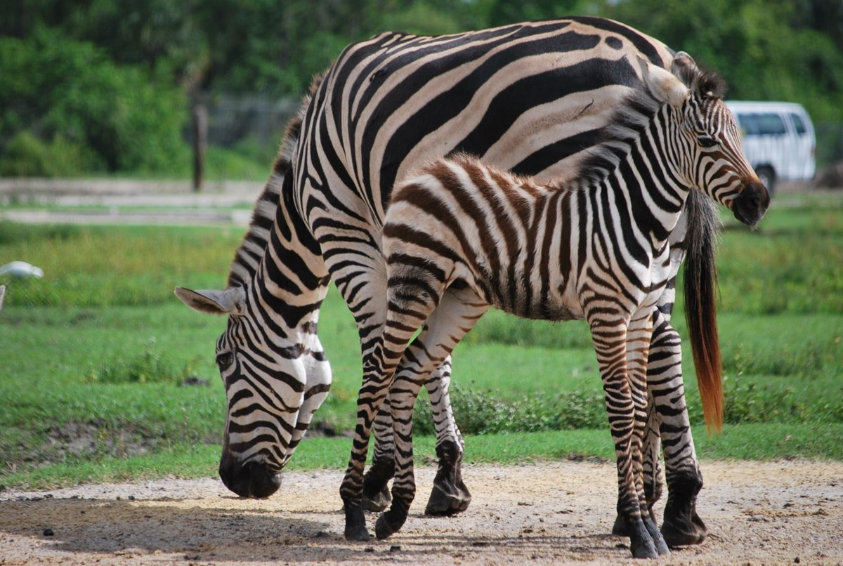 Wishing you a WILD #TooCuteTuesday! 🦓 #TuesdayFeeling #ThePalmBeaches #FamilyTravel