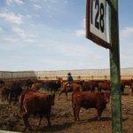 Image for the Tweet beginning: Klassen: Feeder cattle market in