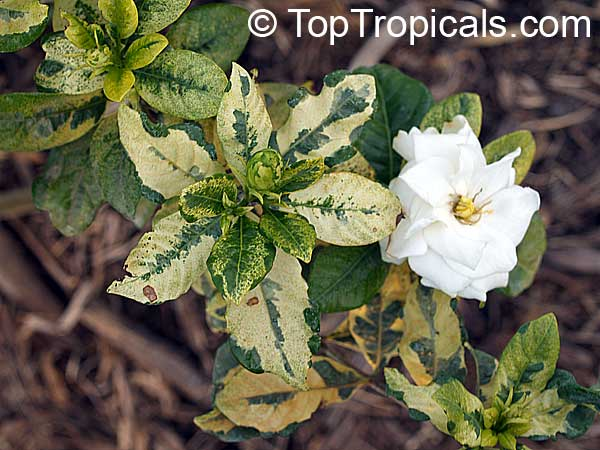 #Gardenia variegata Glacier is very special gardenia cultivar with variegated leaves and medium size #fragrantflowers. This variety grows as a small shrub and can be kept in container.Great accent to #fragrantplant collection  #floweringshrubs #TuesdayTreat