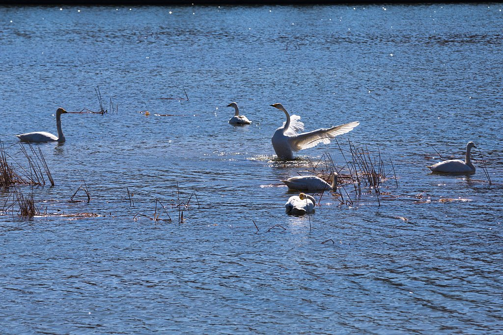 China reported an outbreak of #H5N8 subtype of a highly pathogenic avian influenza in wild swans in Dongying, E China's Shandong Province on Tuesday. Of the 249 wild birds in the epidemic site, 35 are sick and 35 have died: Ministry of Agriculture and Rural Affairs. (File Photo)