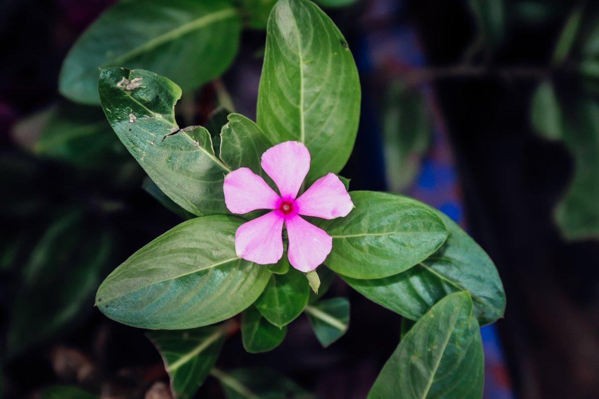 #pink #green #Flowers #gurushots #tuesdayvibe