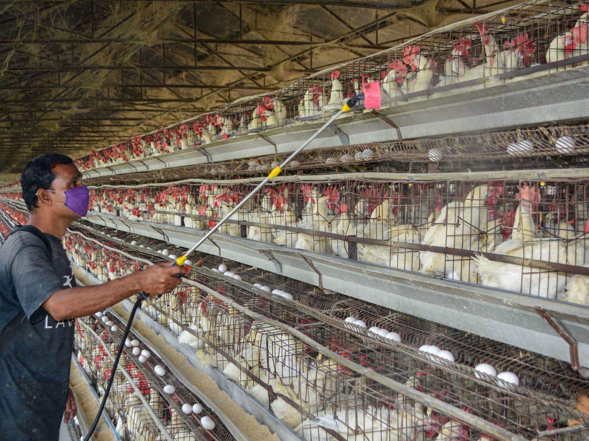#BirdFlu in poultry confirmed in few more places in Kerala, Maharashtra   Read: