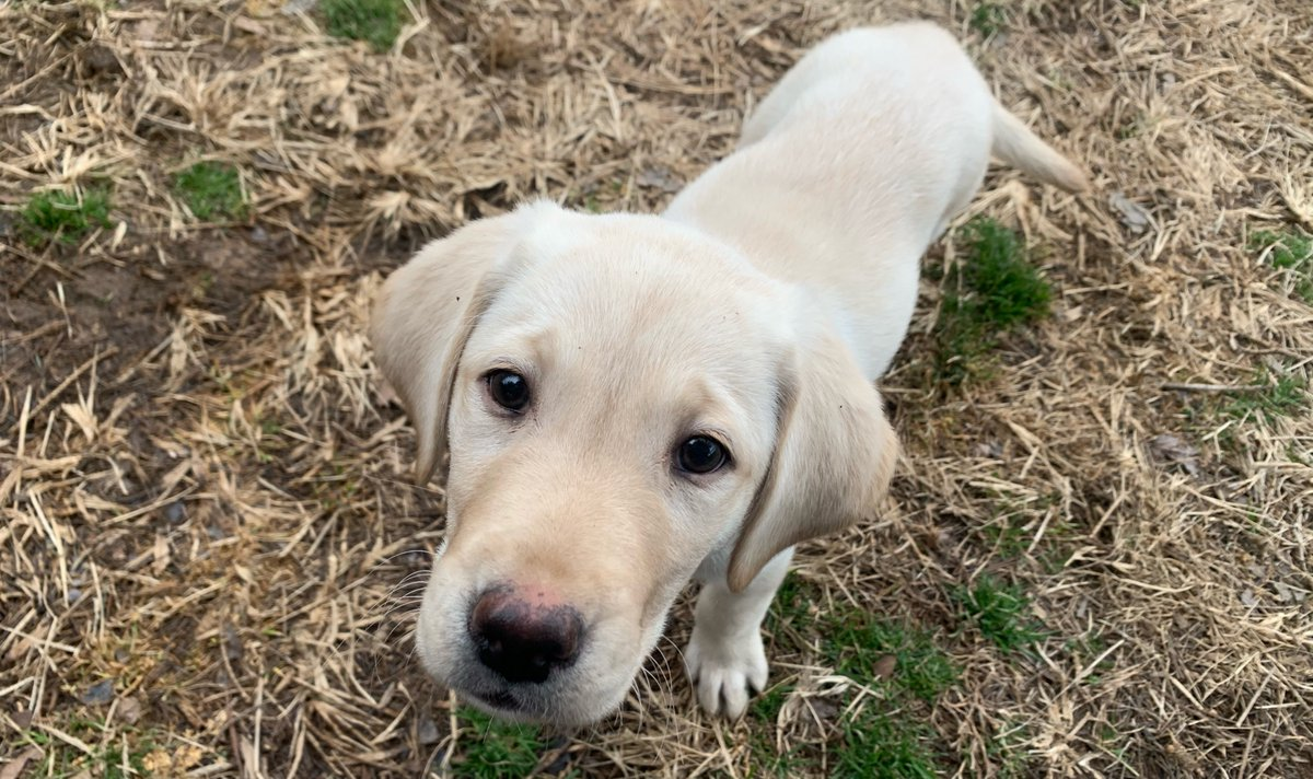 🚨 New Puppy Alert! 🚨 Say hello to Hero Dogs SCPO Shannon M. Kent, USN (a.k.a., Hero Dogs Shanna)! Born the day before #VeteransDay, she is exactly 10 weeks old. She is named after a decorated servicewoman and a true American hero who was killed in Syria in January 2019.