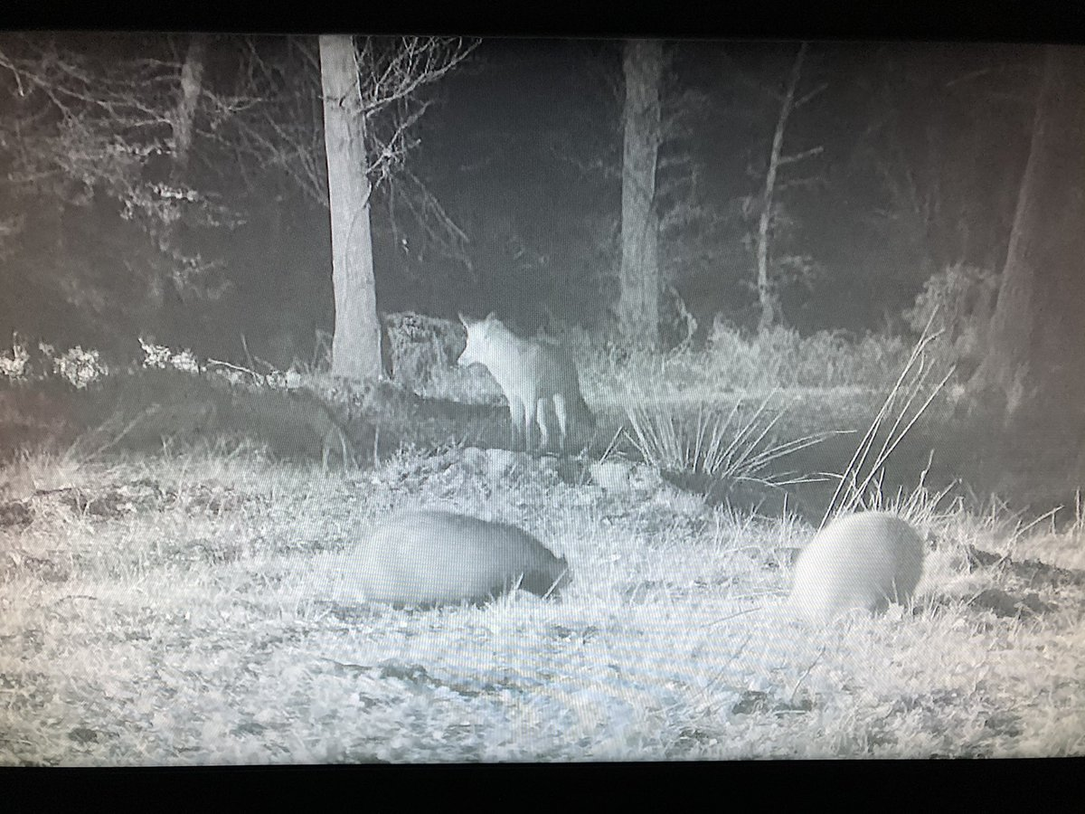 Fabulous footage of #badgers playing as well as an appearance from Mr/Ms Fox. 🦡🦊🦡 . Catch up on iPlayer if you missed it and don't forget the webcam #Winterwatch