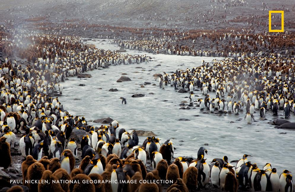 Are you ready for tomorrow?  #PenguinAwarenessDay is almost here! In this archival image by Paul Nicklen, King penguins crowd the banks of a river at St. Andrews Bay, South Georgia