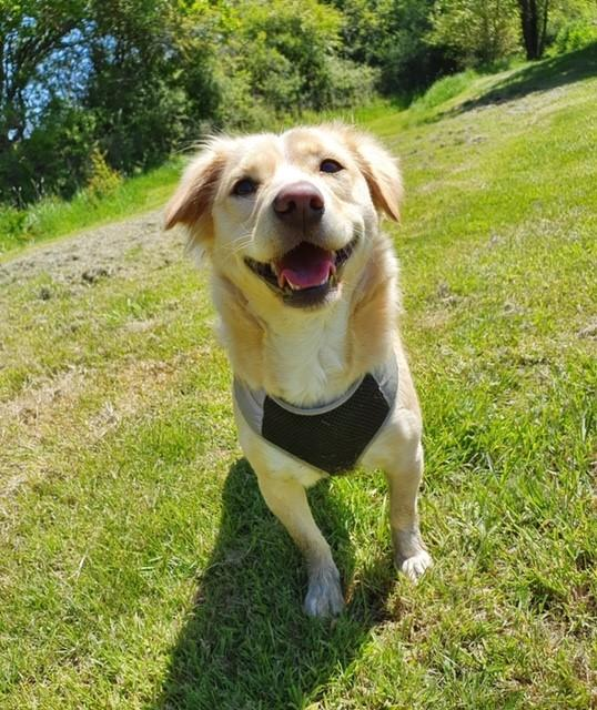 Please retweet to help Chloe find a home #BERKSHIRE🇬🇧  Enjoys quiet rural walks, toys and the garden, aged 2-5 looking for an adult home with a small male dog that is similar in size and age to her, see details, share to help please?❤️    #dogs #animals