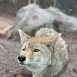 Image for the Tweet beginning: #DYK Coyotes have over 200