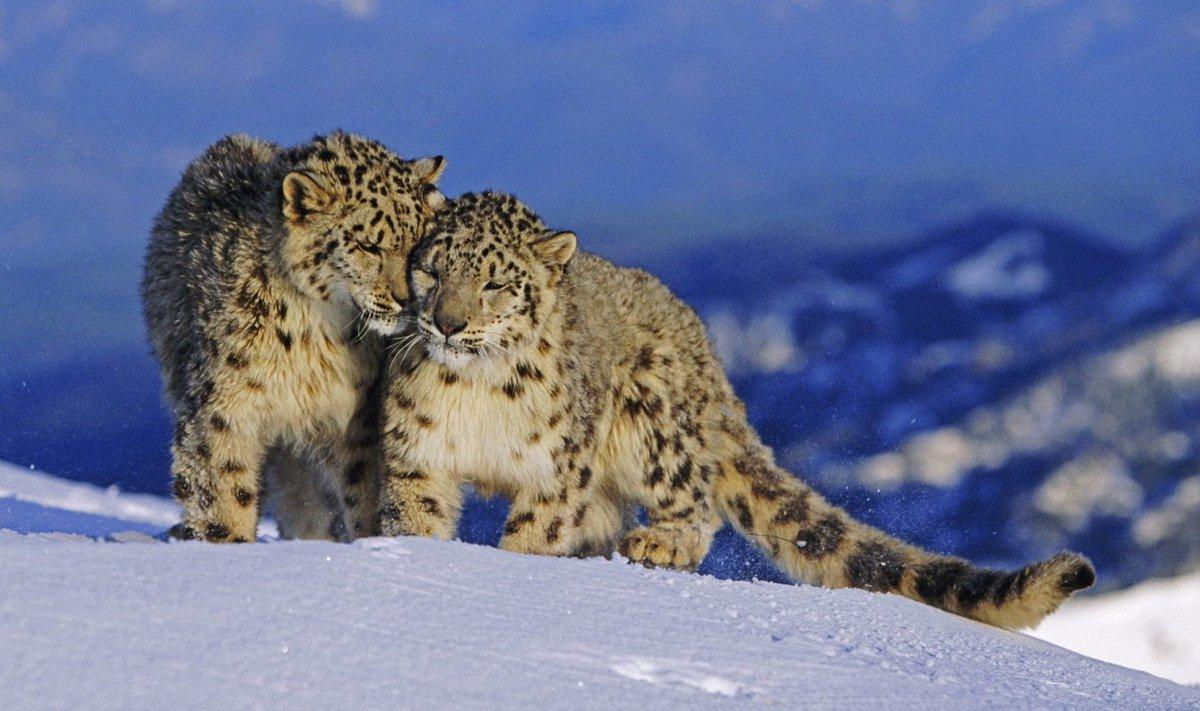 #SnowLeopards