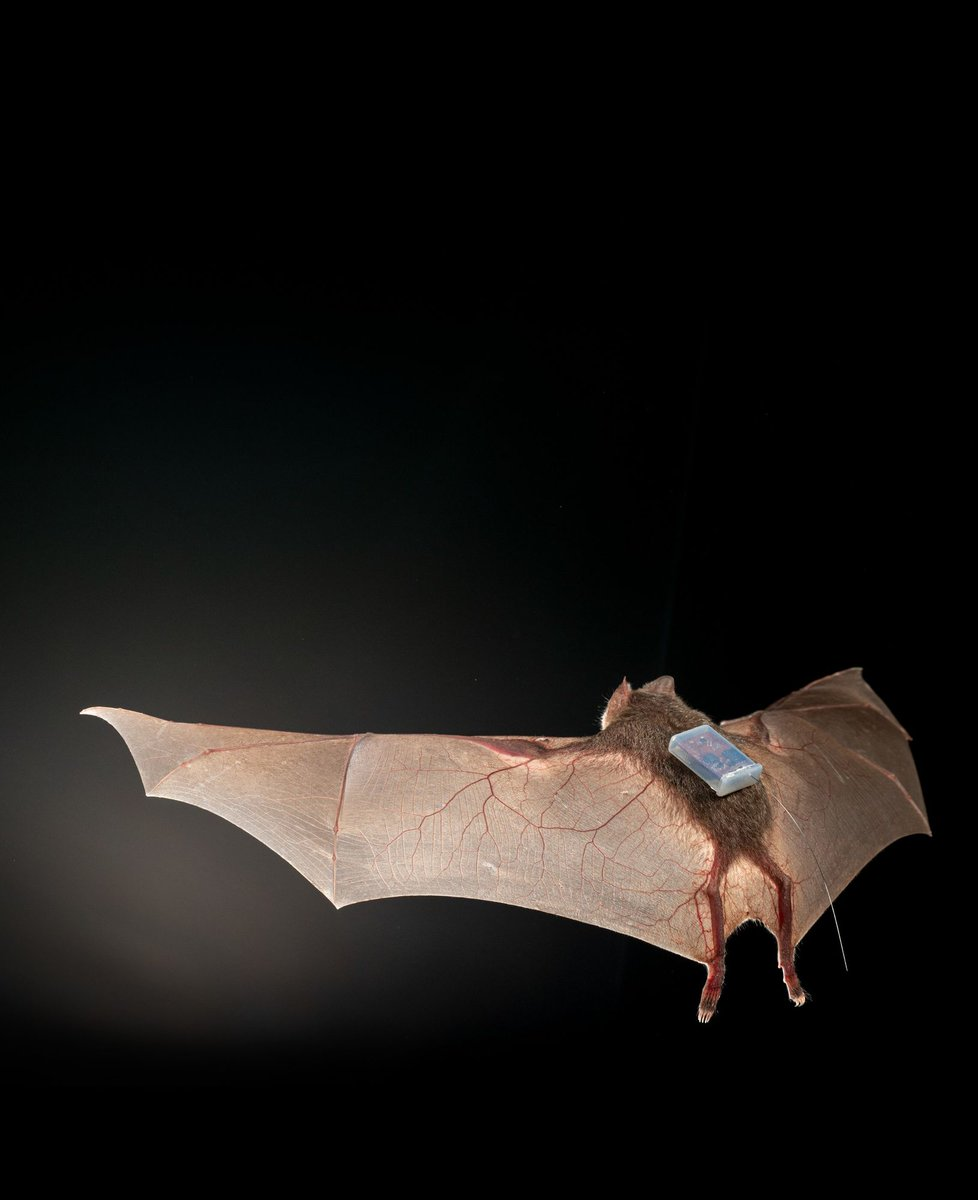 Today I learned bats are trendsetters in tracking tech https://t.co/tuAL1WHjkk https://t.co/AWmQ5bSt1e