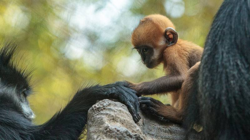 There's a new, cute furry face at the Philidelphia Zoo - and her name is so fitting. Say hello to Precious!   #PhilidelphiaZoo #Françoislangur #leafmonkey #MeiMei #Chester #Precious #QuýBáu