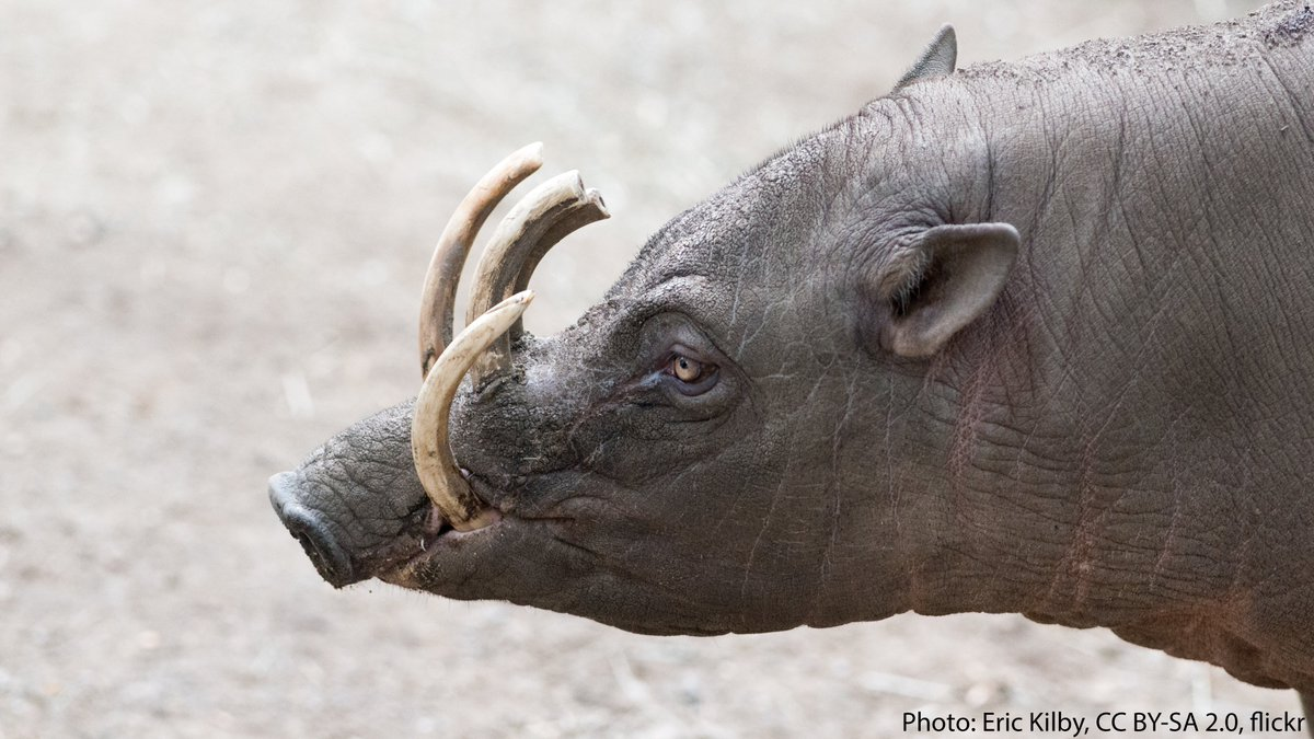 """Imagine if your canine teeth pierced through the front of your mouth & curled upward toward your face. The typical male babirusa doesn't have to wonder. Also known as a """"pig-deer,"""" its tusks—or upper canines—grow upward, penetrating the snout, & curling back toward its head! https://t.co/oE8z88T4CS"""