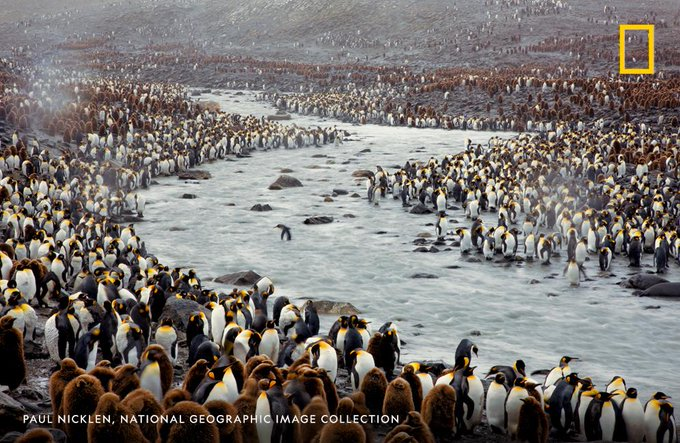 How is this for a march of the #penguins? #biodiversity #extinction #WildlifeConservation  Archival photo by Paul Nicklen @NatGeo