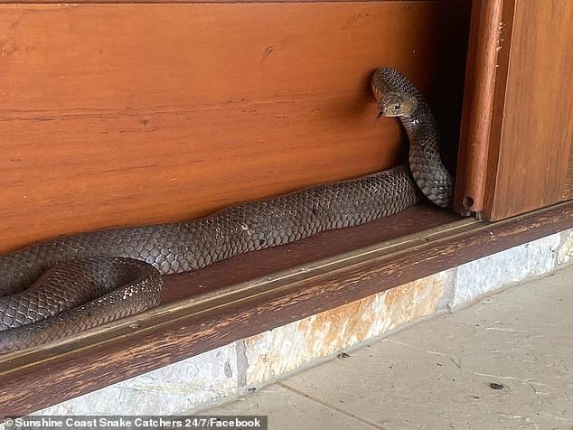 Eastern brown #snakes #summer in #Australia