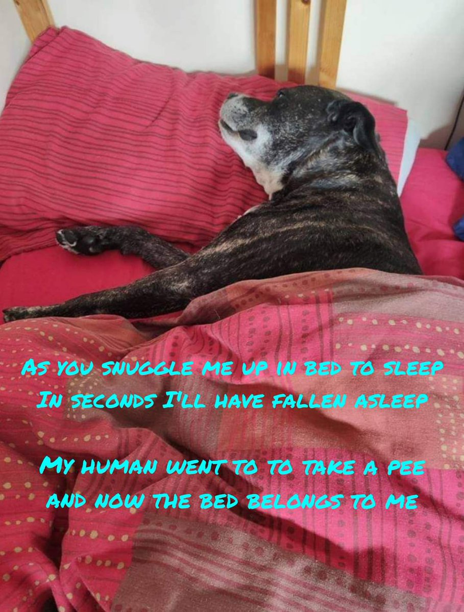 Night night from me Molly Dog, sweet dreamies 😘❤️  #seniorstaffy #TeamZay #Rescue #AdoptDontShop #RescueDogs