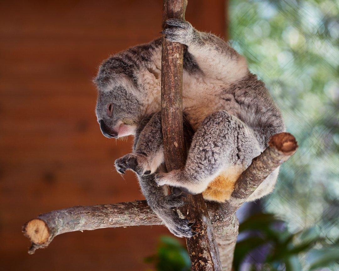 Poise... #koala #eosrp #sigma150600mm #canon #art #endangeredspecies #rescue #naturephotography #wildlifeconservation #capturedoncanon #animals #wildlifeonearth #conservation #canonframes #wildlife #awareness #australia #animalphotos #photography #photographer #wild #endangered