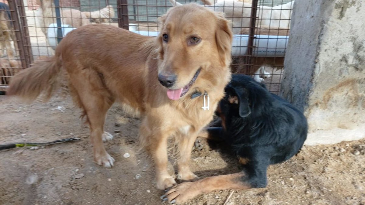 Each Golden we save has their own story. Check out the stories in the links below, and if you are able please donate and share this post with your own network to help give more Goldens a second chance.   Abbey #3358:  Finn #3393: