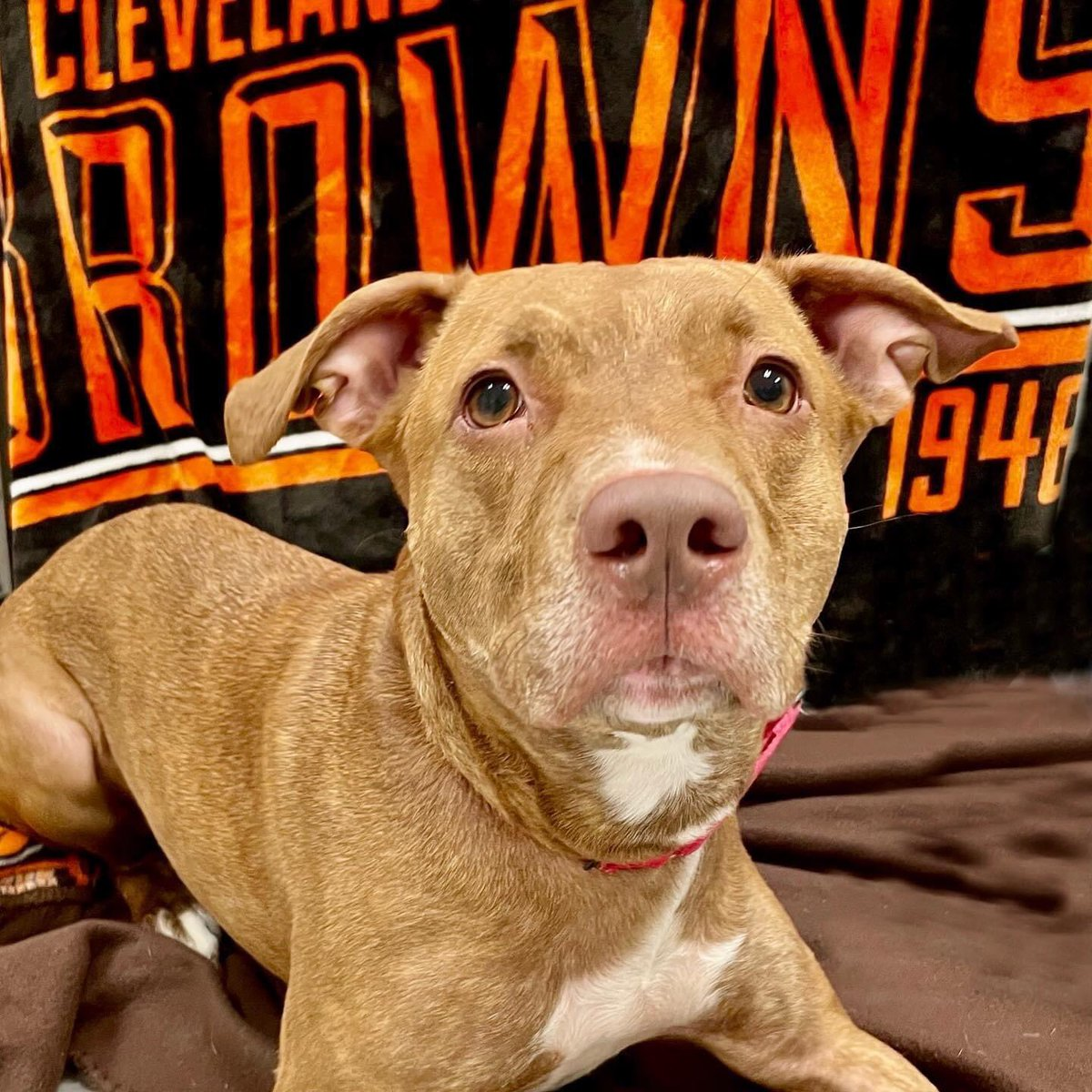LUNA is a gorgeous pittie mix who loves scratches & attention. She came to ARF as a shy girl, but quickly settled in! If you have room in your heart & on your couch, contact her consultant, Rose at 440-823-4614 #wewantmore  #gobrowns