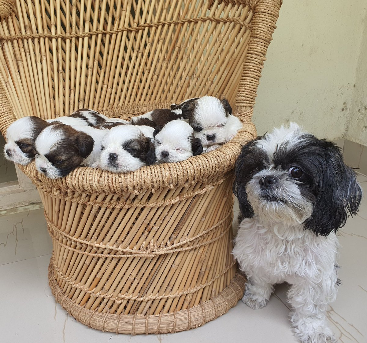 From being our baby to having babies!!!   Dec 20th, our princess, Suzie became a mommy to 5 beautiful and adorable babies!!! 👨🏿🤝👨🏻❤🐶  #shihtzu #shuhtzusofinstagram #shihtzupuppy #shihtzulove #gayparents #gaypetparents #suzie #baby #dogsofinstagram #doglovers #family
