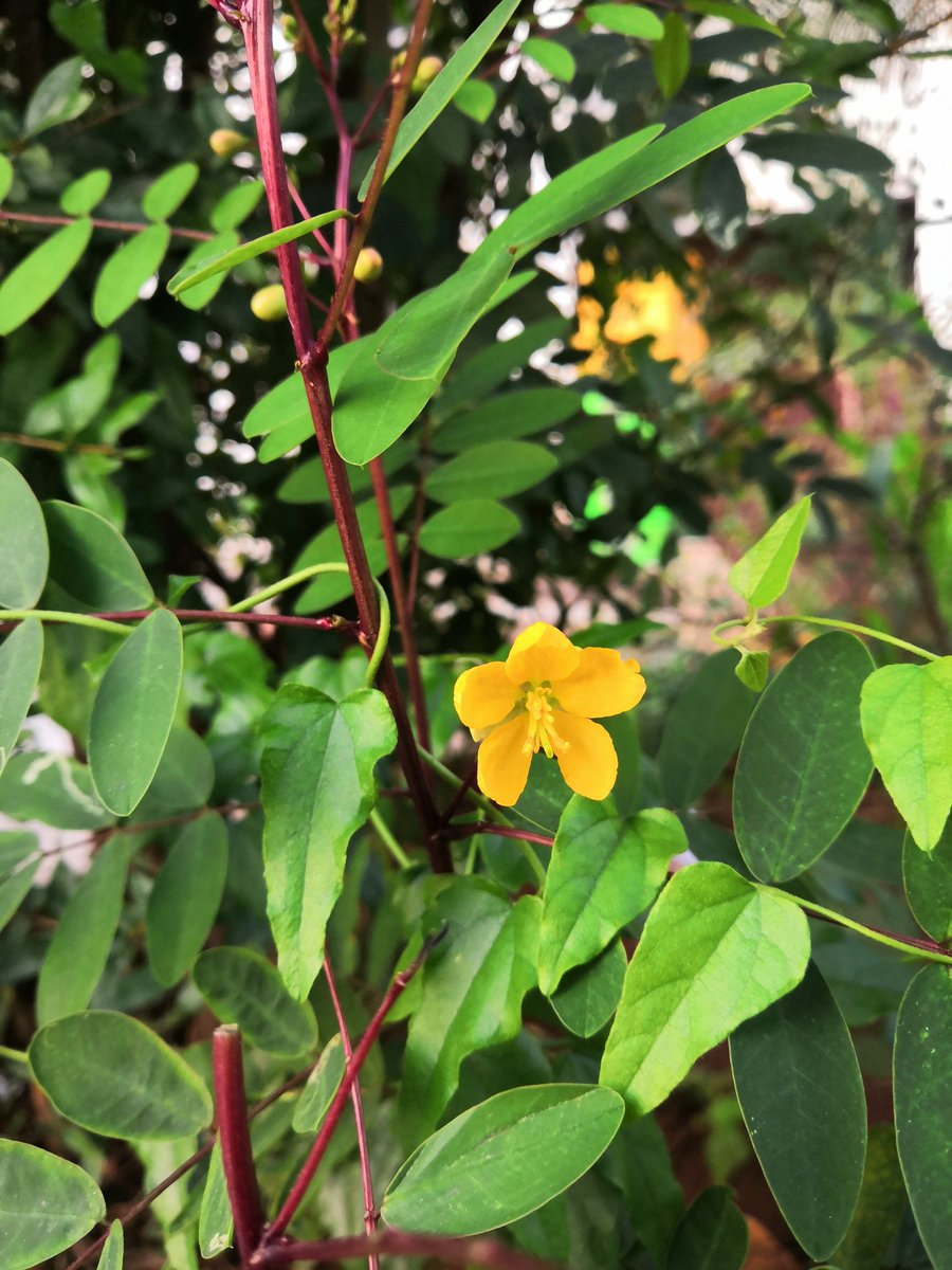 #PhotoOfTheDay A plant that people might ignore but easily but the striking colours caught my attention. Green leaves, maroon stem and yellow flowers. What a beautiful creation of nature!! #flowerphotography #photographylovers #NaturePhotography #NaturalBeauty #nature