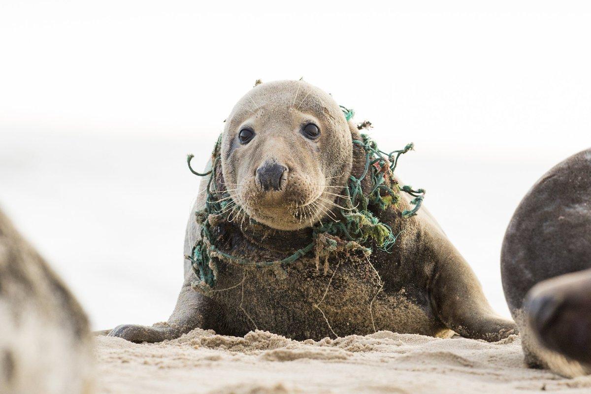 【🌊海洋ゴミ問題】 好奇心で近寄ったり、ごみに集まる魚を食べようとして、多くの海の動物がロープやプラスチックホルダーに絡まり命を落としています。 人間が便利さを求めた結果、引き起こされた問題。私達には行動を変えて問題を解決する責任があります🚮🌍  #ClimateAction  #BeatPollution