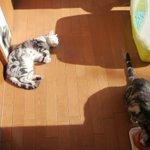 Image for the Tweet beginning: 出勤前。 #猫  #cat