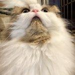 Image for the Tweet beginning: はい、撫でてい〜よ〜😻ゴロゴロ  #猫 #モフ猫 #サイベリアン #ねこ部 #猫好きさんと繋がりたい