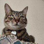 Image for the Tweet beginning: 今朝の金吾 #ねこ #猫 #猫好きさんと繋がりたい #猫のいる暮らし #cat