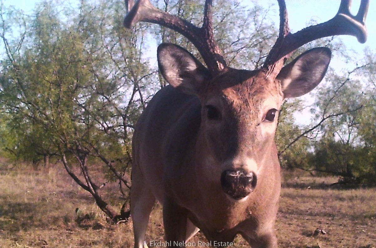 Sometimes the #game is just as interested in us as we are them! This #TrophyTuesday #buck got up close and personal with the #gamecam on the Caprock Canyon #Ranch.   Check the #listing for even bigger #monsterbucks: https://t.co/SiDJ88EwKp  #hunting #hunttexas #huntingseason https://t.co/6CMXNS3m0H