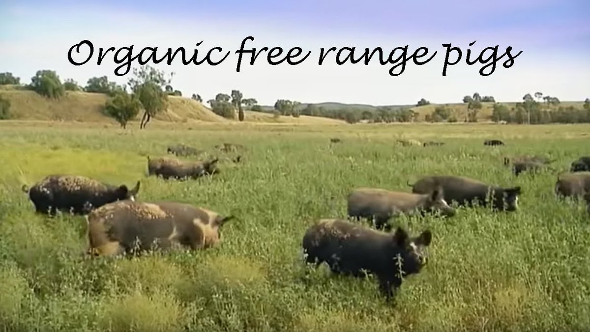 #DownToEarth with @AngieKhumalo Today we are learning about free range pig farming with Kano Pigs Founder and Director John Phalatsi #TheKingsSuite