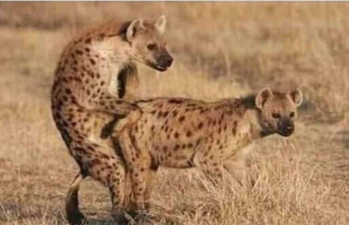 Did you know?  #Hyena have sex at least 6 times a day .. That's the secret behind those bastard laughing every time. (hauuu hauuu)  🤔🤔 🤔 #lampard #DAYS #InaugurationDay