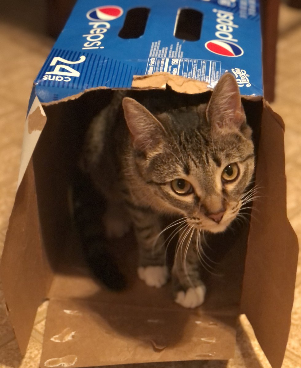 @pepsi New Pepsi spokescat?! I think so!! 🥰🥰😂😂 #cats #PepsiHalftime #pepsilovesanimals