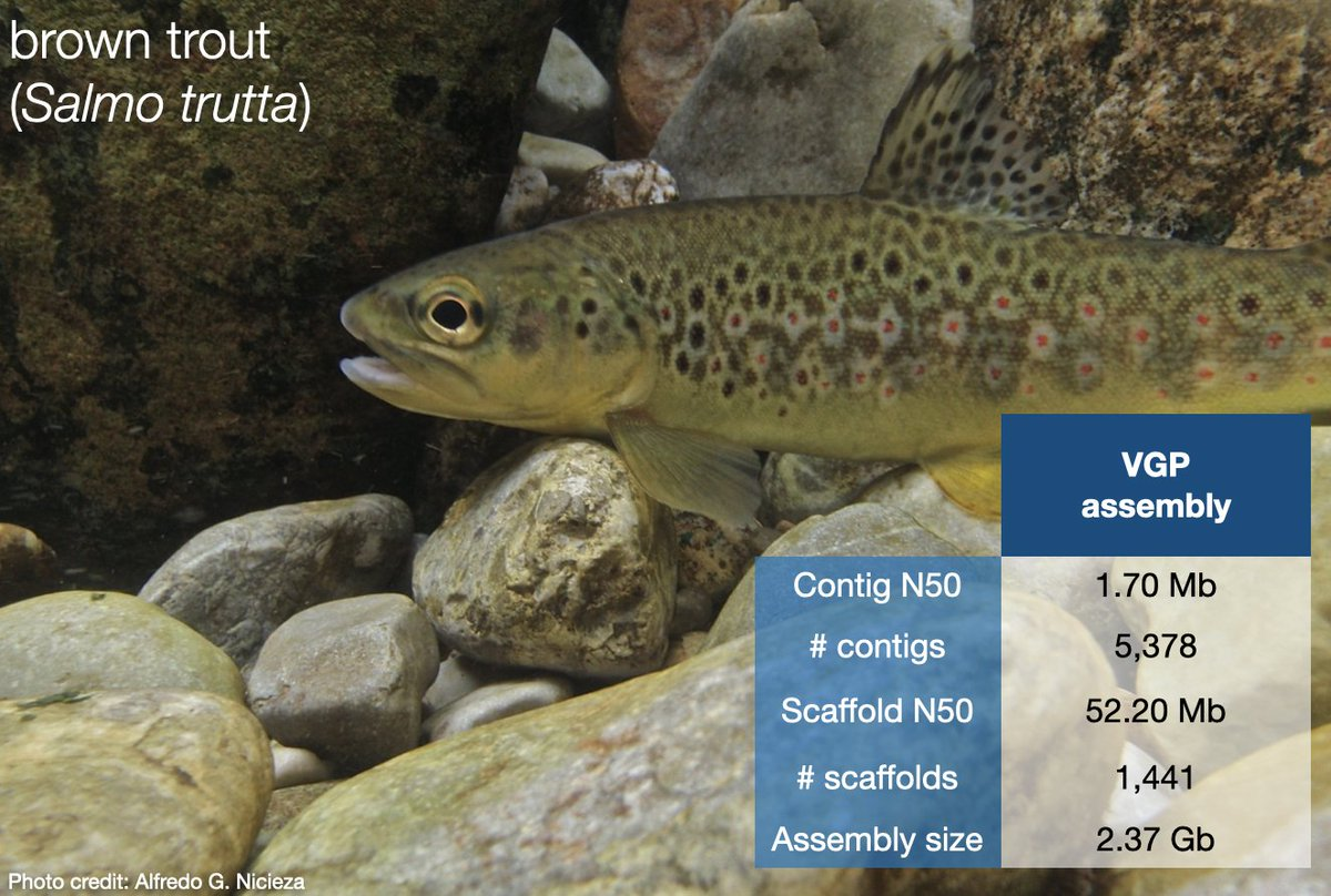 The new trout genome with an genome size of 2.37Gb is out and about. Sequenced as part of the #sanger25genomes project and #vgp @SangerToL @genomeark https://t.co/HvRjFNaxek