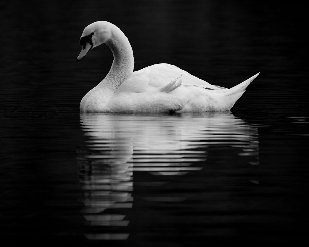 A distorted view of one's self... muteswan #eosrp #sigma150600mm #capturedoncanon #bnw #bw #photographer #wildlifephotography #blackandwhite #birdwatching #art #swan #swans #monochrome #photography #bird #bnwphotography #birdphotography #birdlife #wildlife #birds #birding #photo