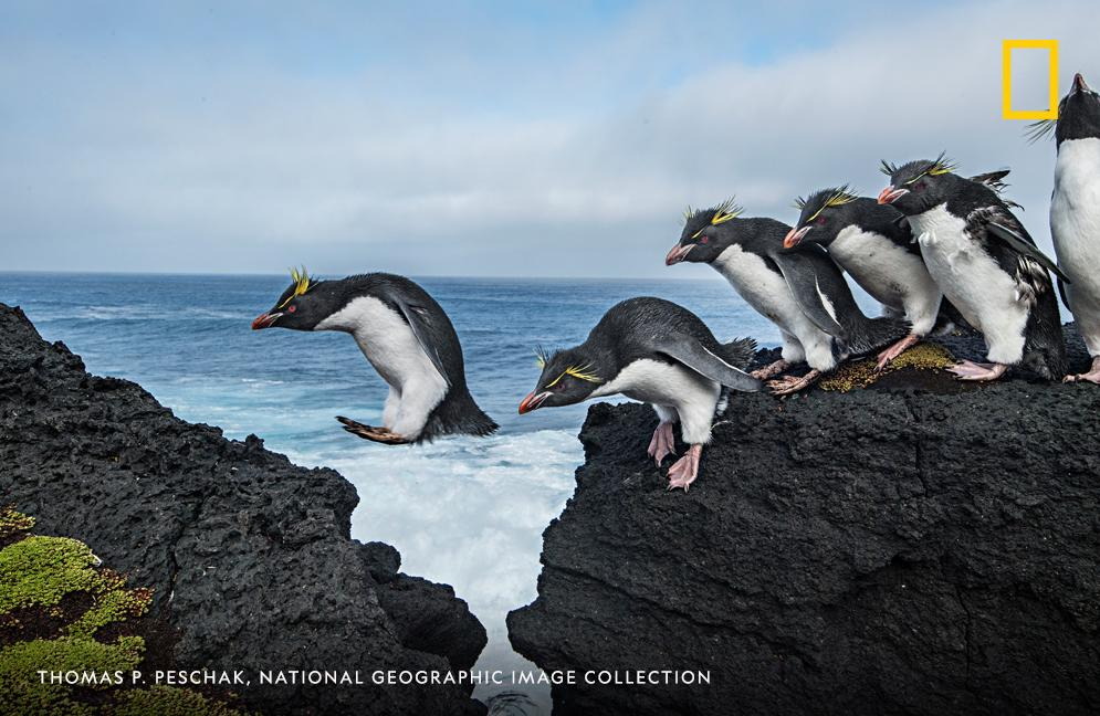 It's #PenguinAwarenessDay! Southern rockhopper penguins navigate the rocky cliffs and crashing waves when coming to and from Marion Island, Prince Edward Island