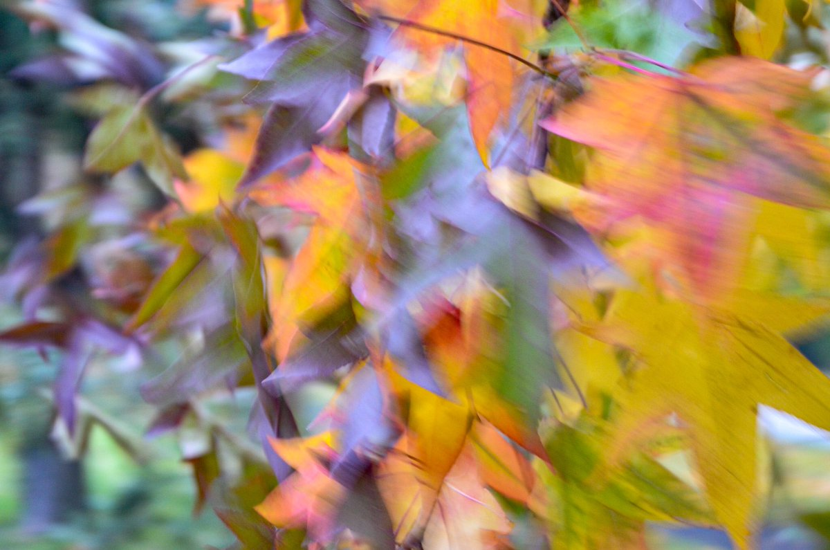 A bit of colour on a grey day. #maple #trees #autumn #movement #nature #colour