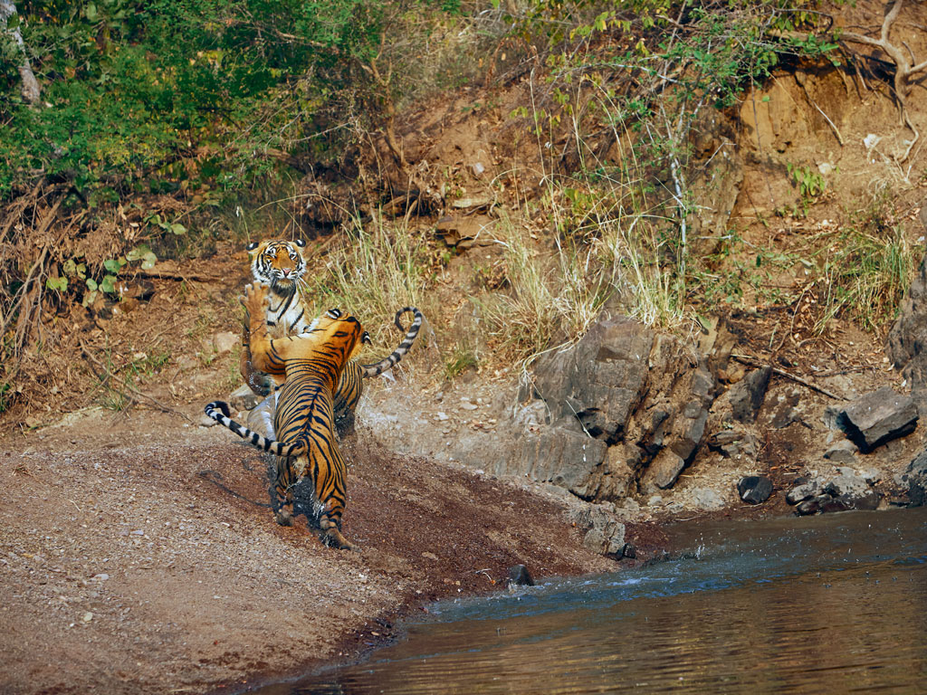Think you've seen most of #Rajasthan? Aman-i-Khas's luxury camp near #Ranthambore hides in the jungles around it. Its luxurious tents come kitted with sun decks and lounges—perfect to unwind in after you spot a tiger. Or three. #WildlifeGetaway