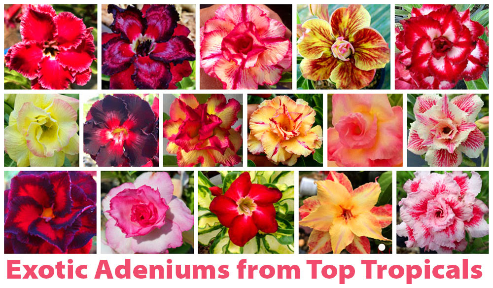 This week only! We received NEW varieties of Desert roses (#Adeniums) from Thailand. They are dormant now and easy to ship. FREE shipping-NO minimum order! Check out the full list of Adeniums and collect them all!  #floweringshrubs #Bonsai  #WednesdayWisdom