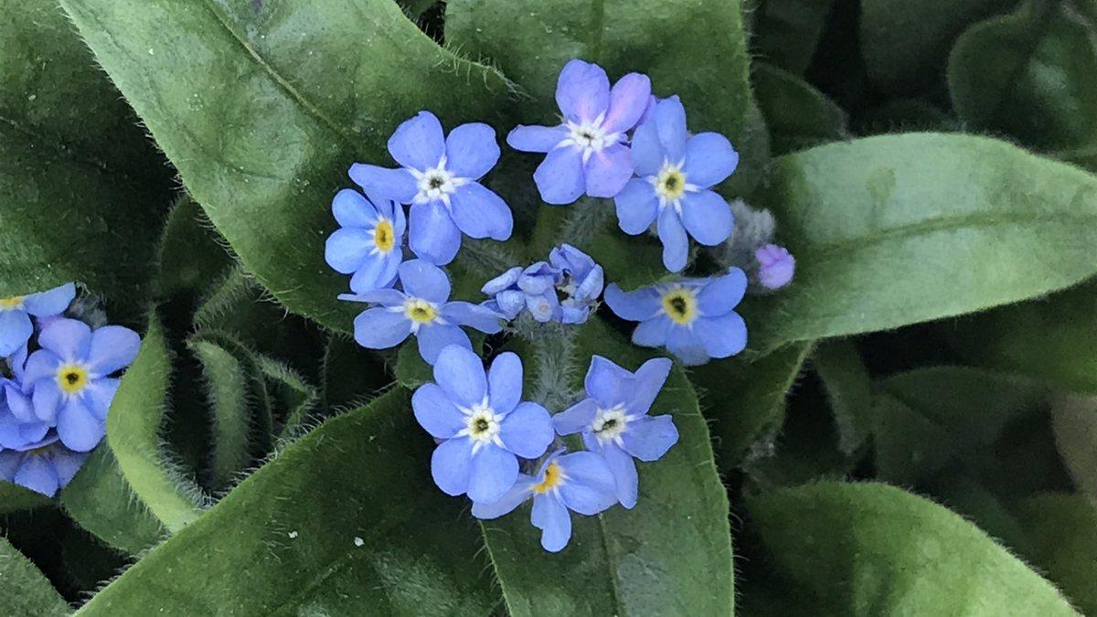 大好きなワスレナグサの苗を見つけたので早速、買いました。ワスレナグサは早春を告げる可憐な小花。その上、呼吸器に優れた作用がある立派なハーブなんですよ #植物の力 #植物療法 #ハーブ #アロマ #草木染め #屋上庭園 #ハーブガーデン #ハーブのある暮らし #レンカ #ハーブスタジオイリーダ #杉並区 https://t.co/m3un4VI6fL