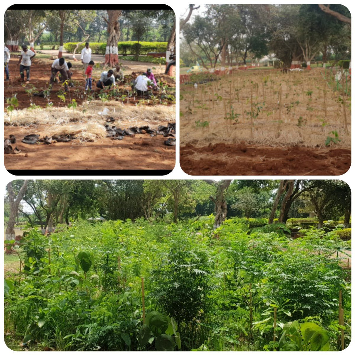 The M-W ward of @mybmc where CM Uddhav Thackeray ji initiated an urban forest plantation by miyawakee method last year on Republic Day. Recently in a review meeting, the AC Prithviraj Chavan ji sent me photos of that very plantation, growing from saplings into a thicket. (1/n)
