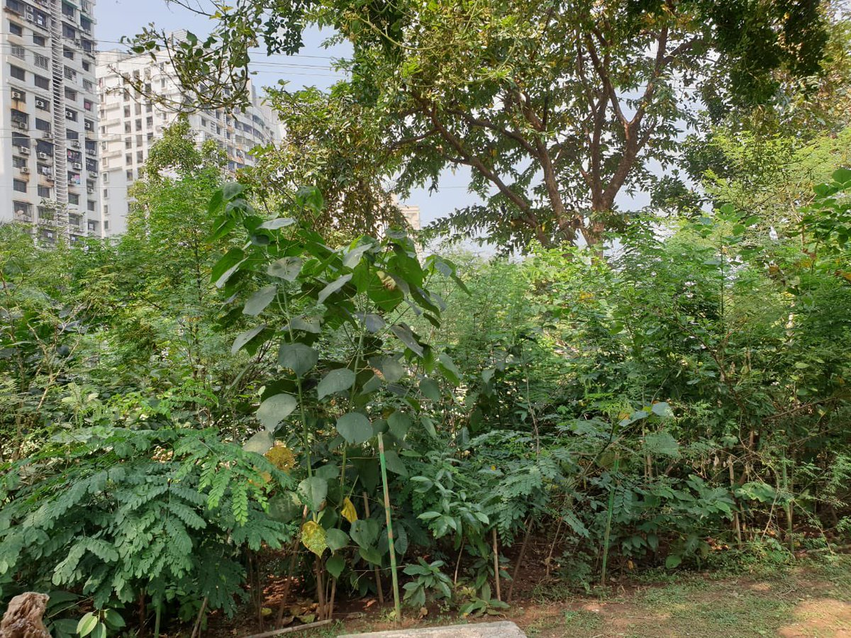 We planted 36,000 saplings then. Recently, the ward also planted 21,000 saplings near Mahul area that is known for pollution and poor AQI.  Totally about 57,000 saplings are growing into a dense urban forest in MW Ward of BMC. (2/3)