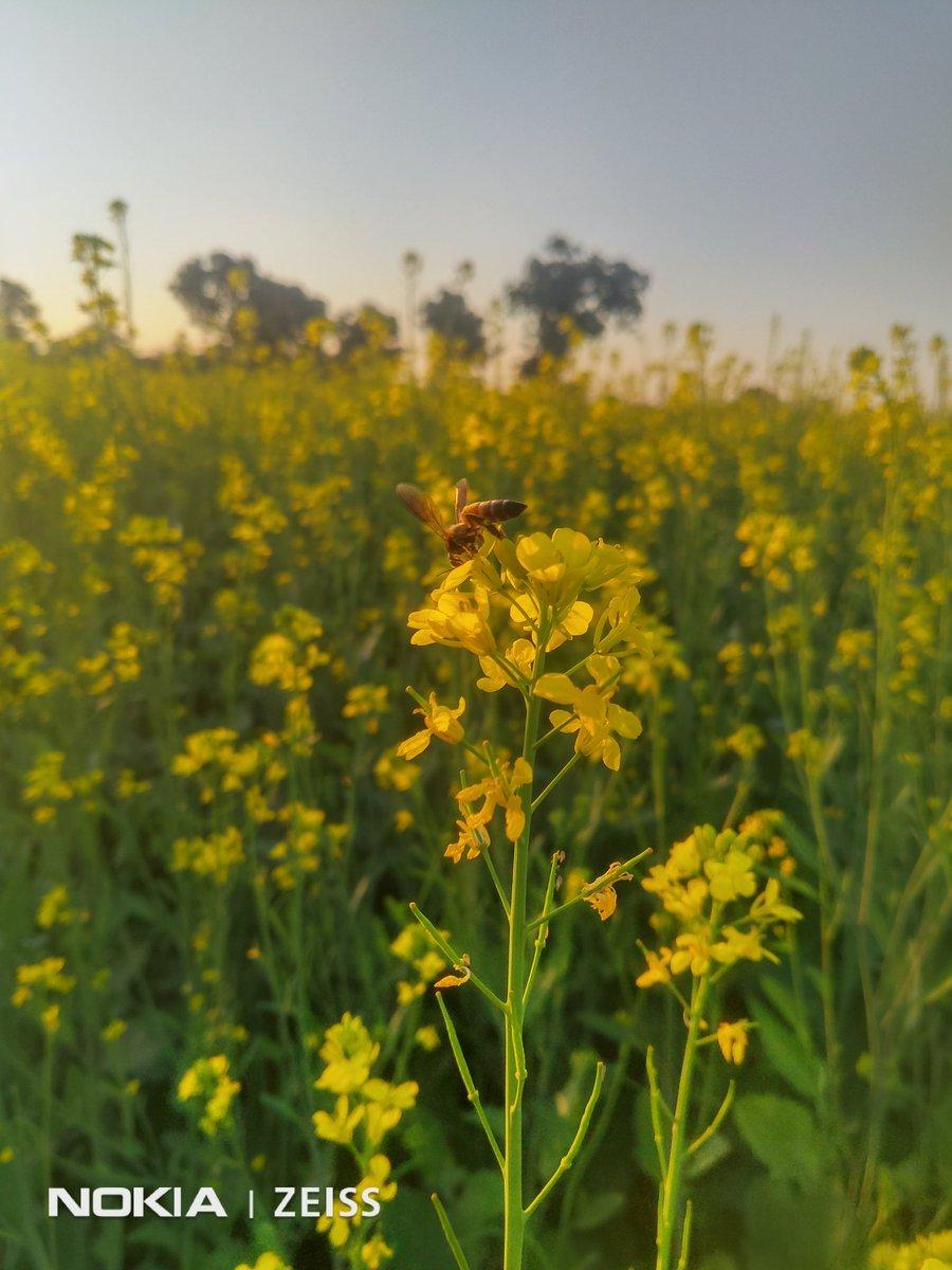 #Bee 🐝 #Flowers 🌸🌻🌺 #Nokia 🤝 #NokiaMobile 📱 #Shotonnokia 🤳📷 @NokiaMobile @NokiamobileIN