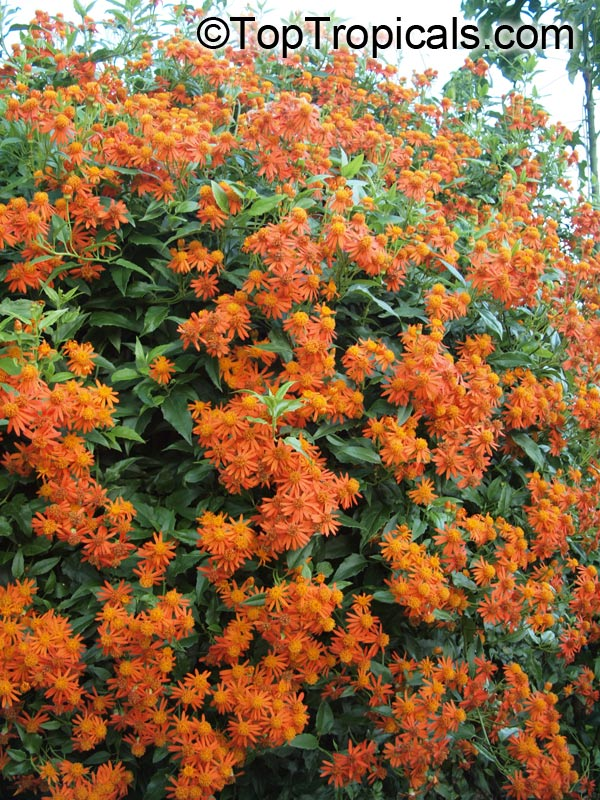 #Senecio confusus - Mexican flame vine (Pseudogynoxus chenopodiodes) is fast-growing vine with beautiful bright orange flowers year round. Great for covering fences, etc. It is attractive to bees, butterflies and birds.   #floweringvines #WednesdayWisdom