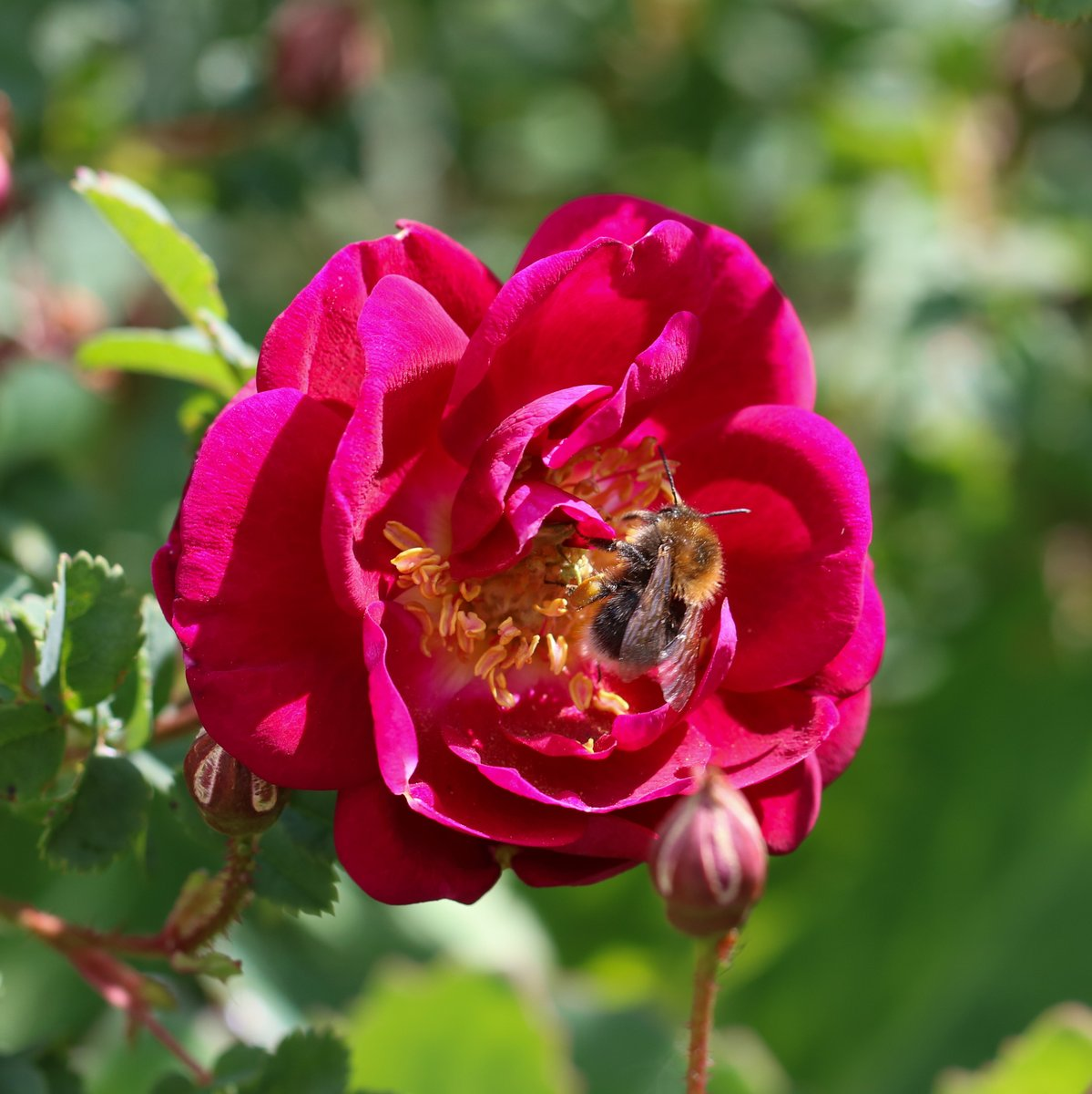 A rose for #RoseWednesday  The bee is a bonus 🐝 #Flowers #summertime