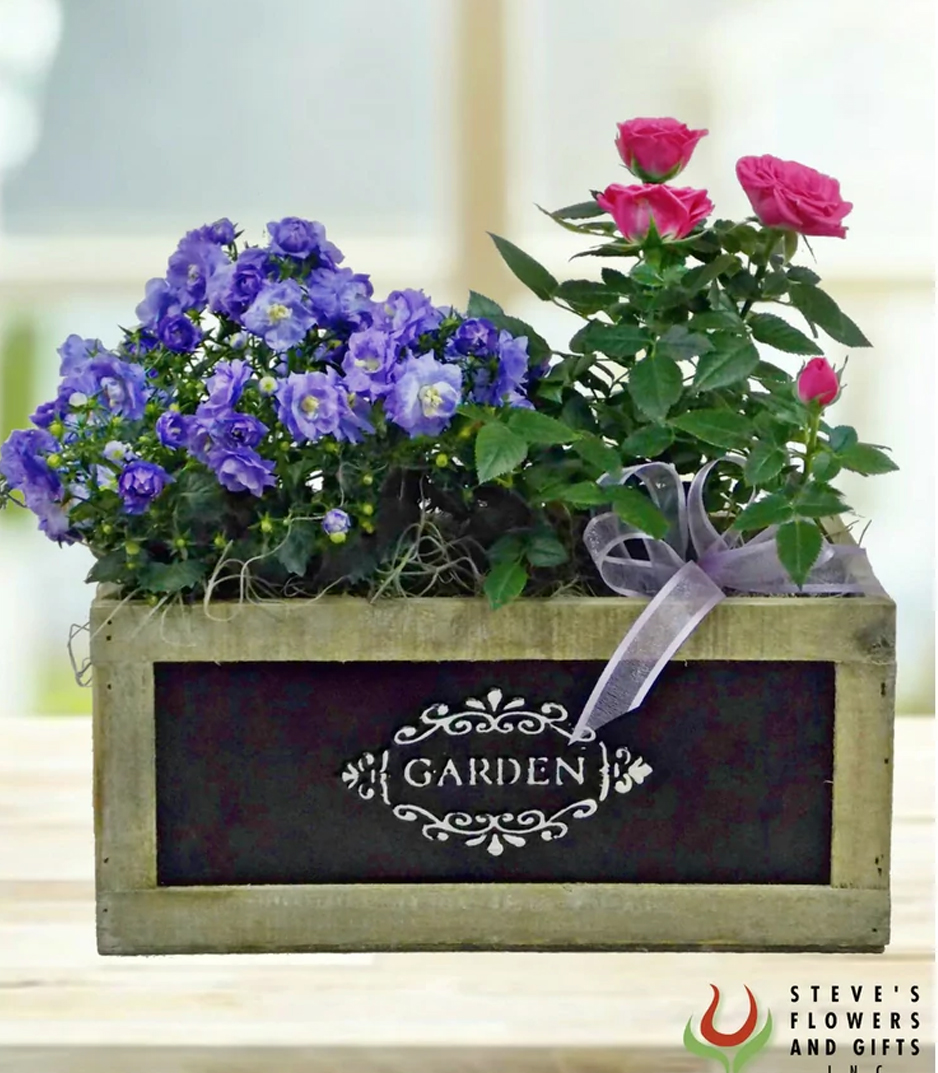 #SameTimeNextYear This spring-looking, combination of a Campanula plant & a Rose bush is beautifully displayed in a wooden, garden box accented with moss & a decorative sheer bow. A sweet gift for any occasion. #stevesflowers #indyflorist #flowers #plants
